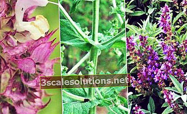 Salvia: a cosa serve, tipologie e benefici