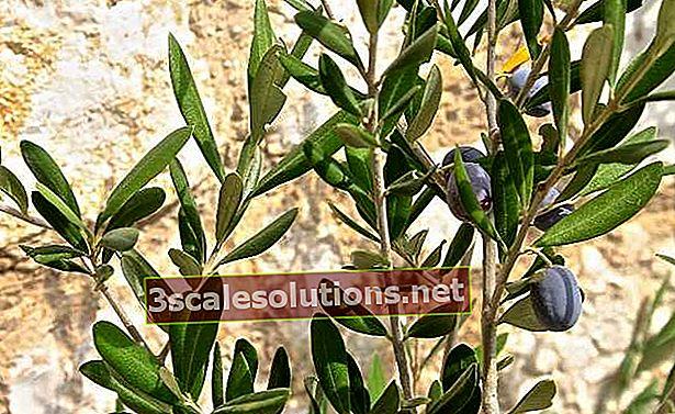 Le foglie di olivo aiutano a combattere il diabete, l'ipertensione e altro ancora