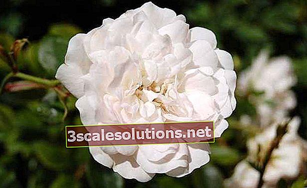 Rosa-branca: seus benefícios e como fazer seu chá