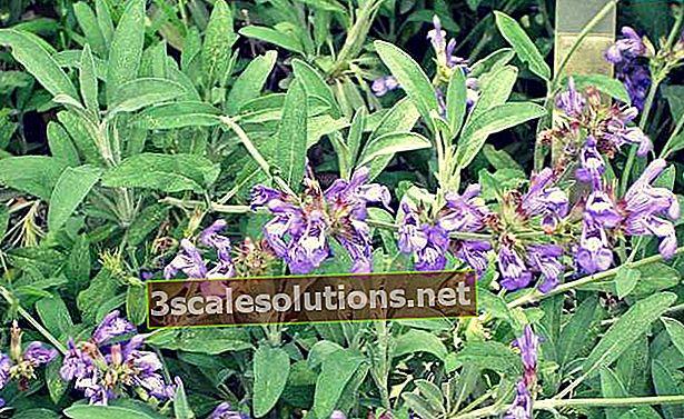 Salvia officinalis: benefici scientificamente provati