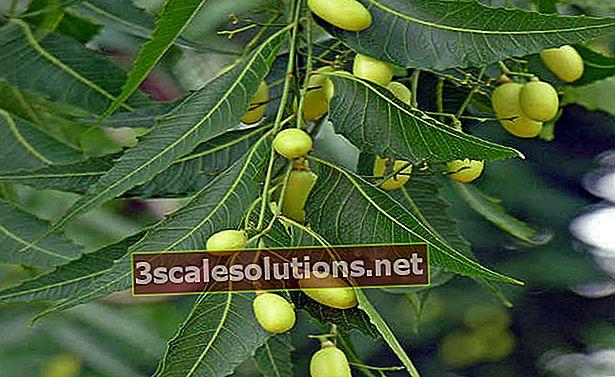 Neem: benefici dalla radice alle foglie