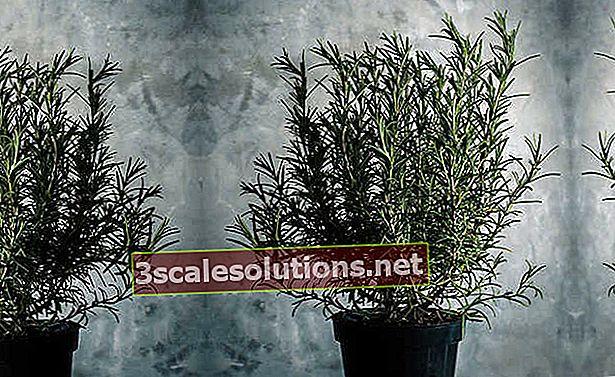 Come piantare il rosmarino?