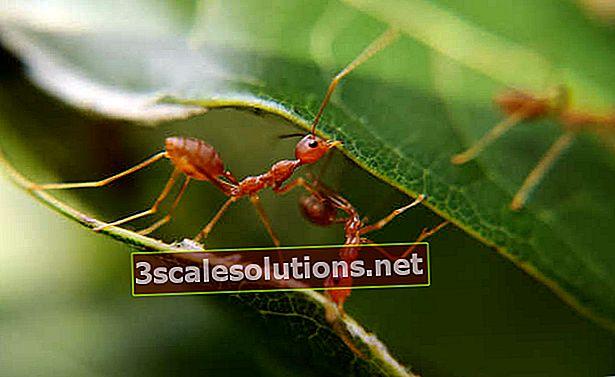 Come uccidere le formiche naturalmente