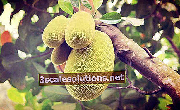 Quali sono i vantaggi del jackfruit?